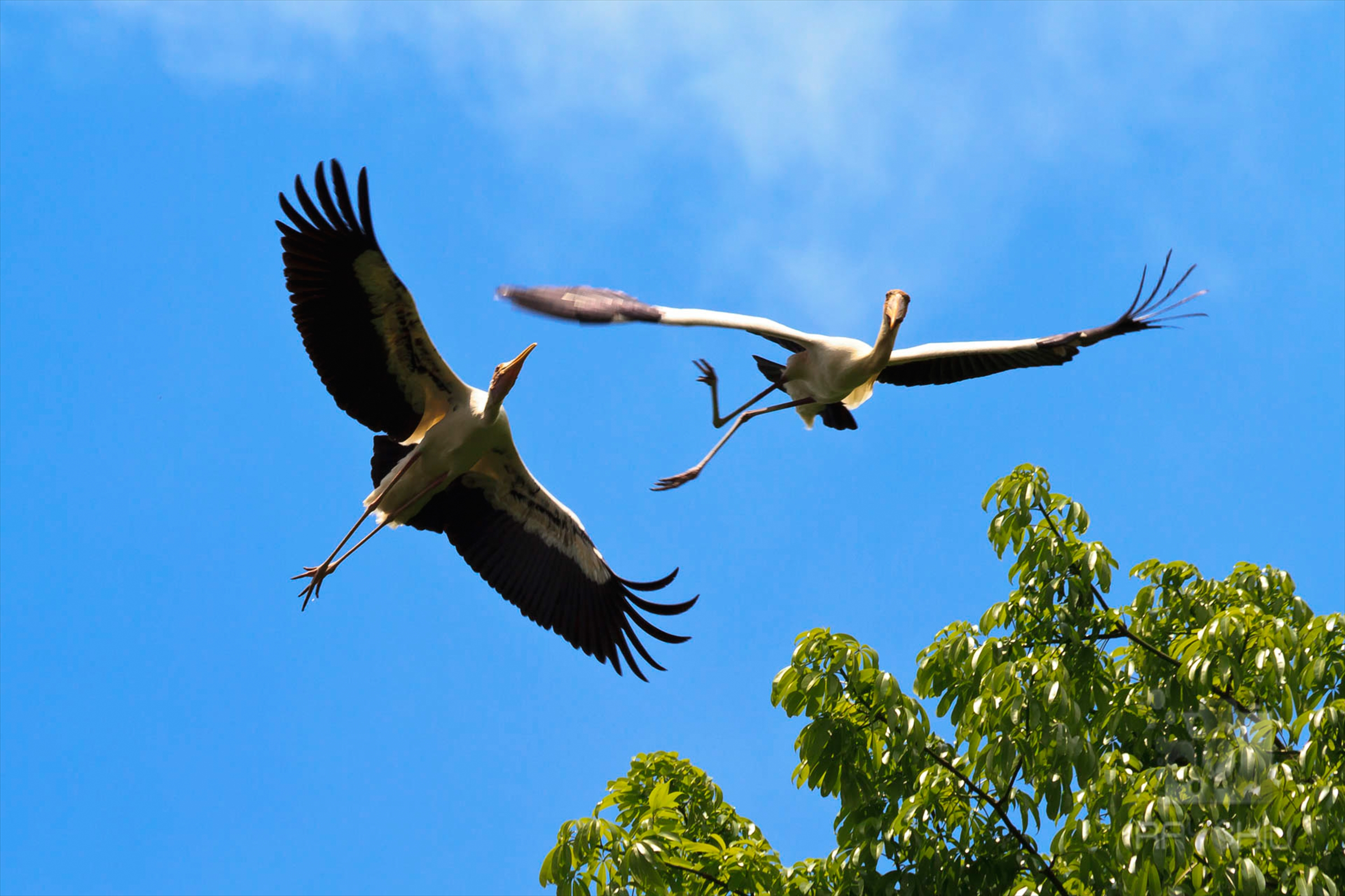 Painted Storks, on the verge of being a threatened species.